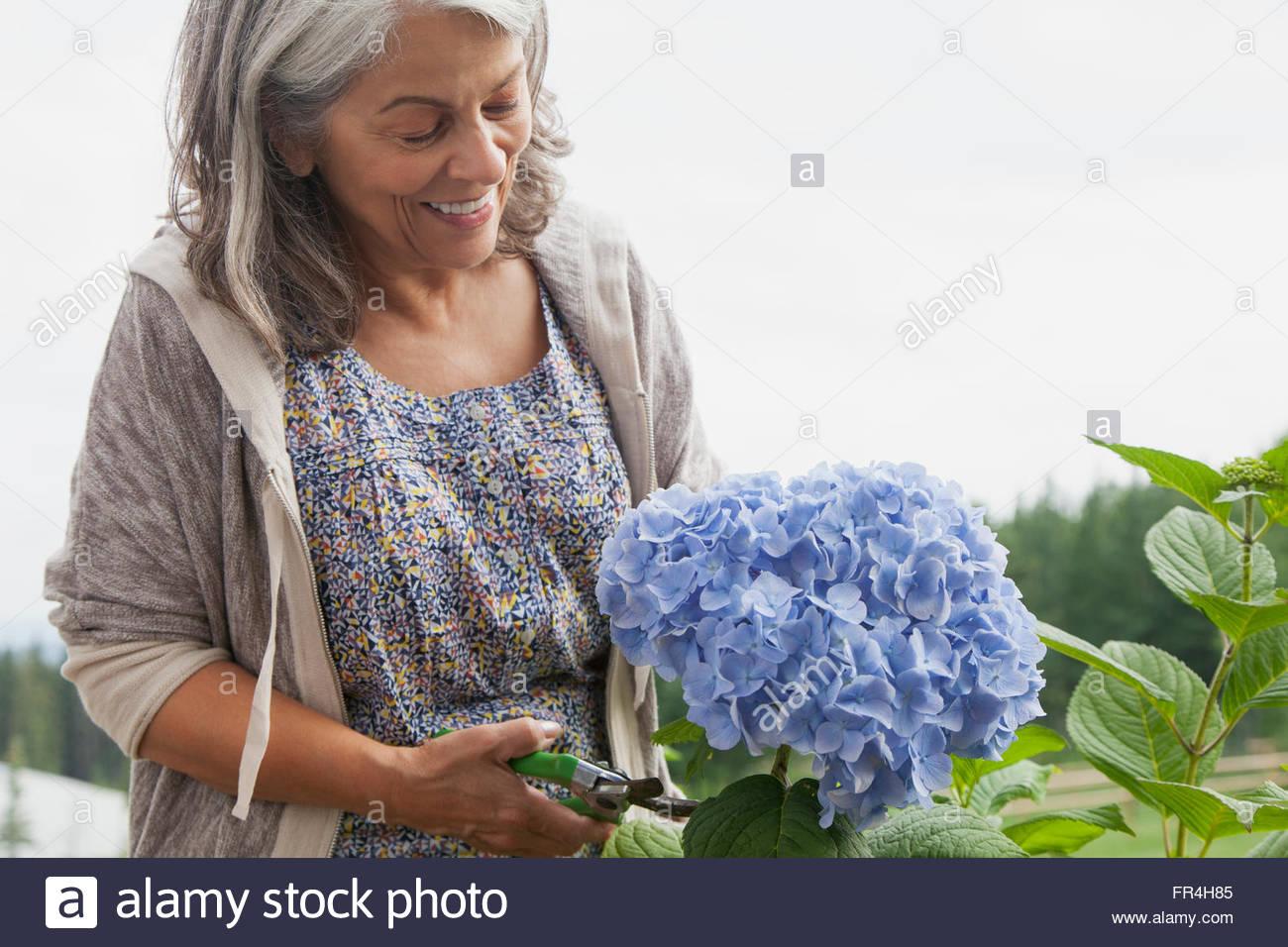 senior woman clipping hydrangea flower - Stock Image