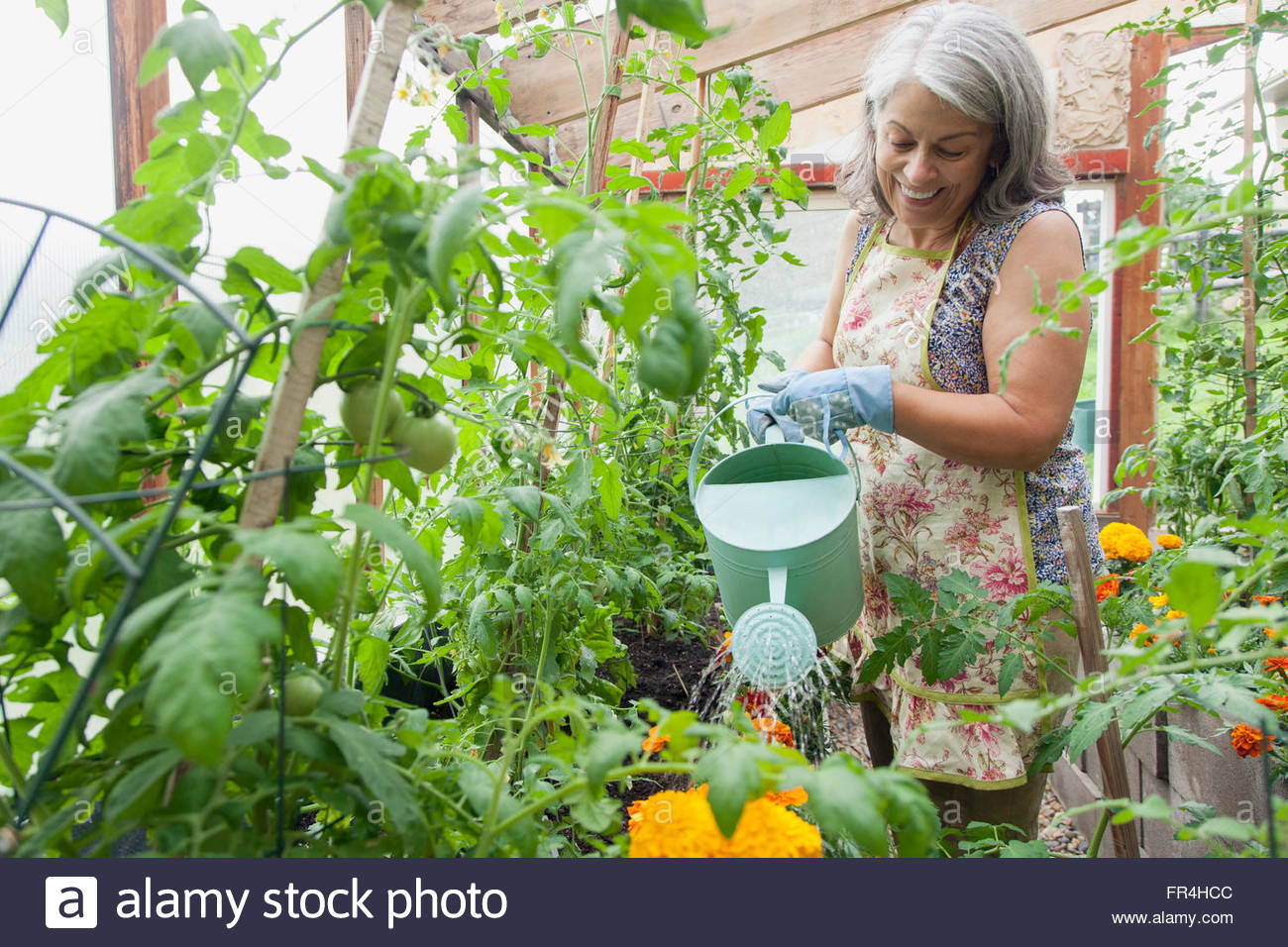 senior woman watering plants in green house - Stock Image