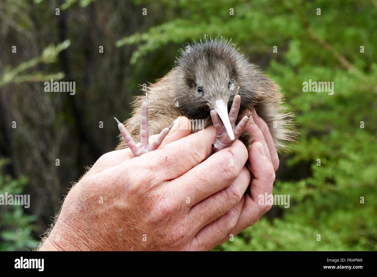 New Zealand Kiwi bird chick - Stock Image