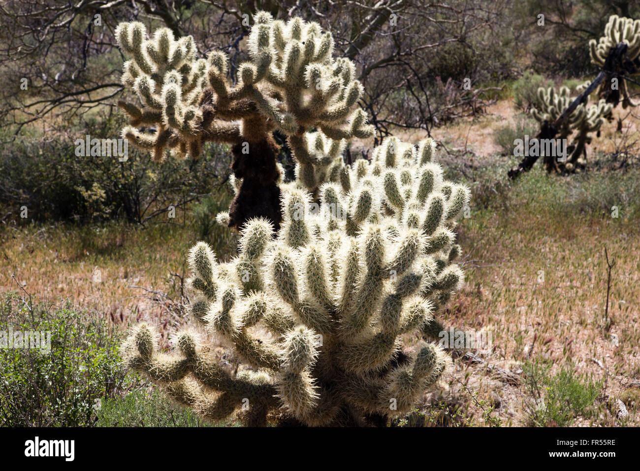 Thorny Cholla Cactus in the southwestern desert USA - Stock Image