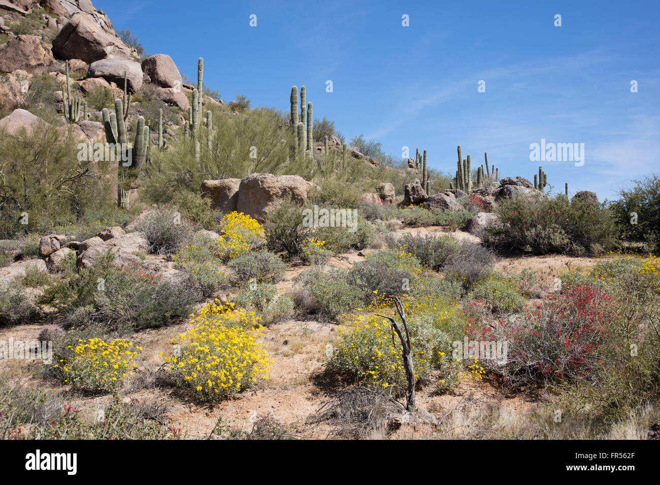 Spring wildflowers in the southwestern desert USA - Stock Image