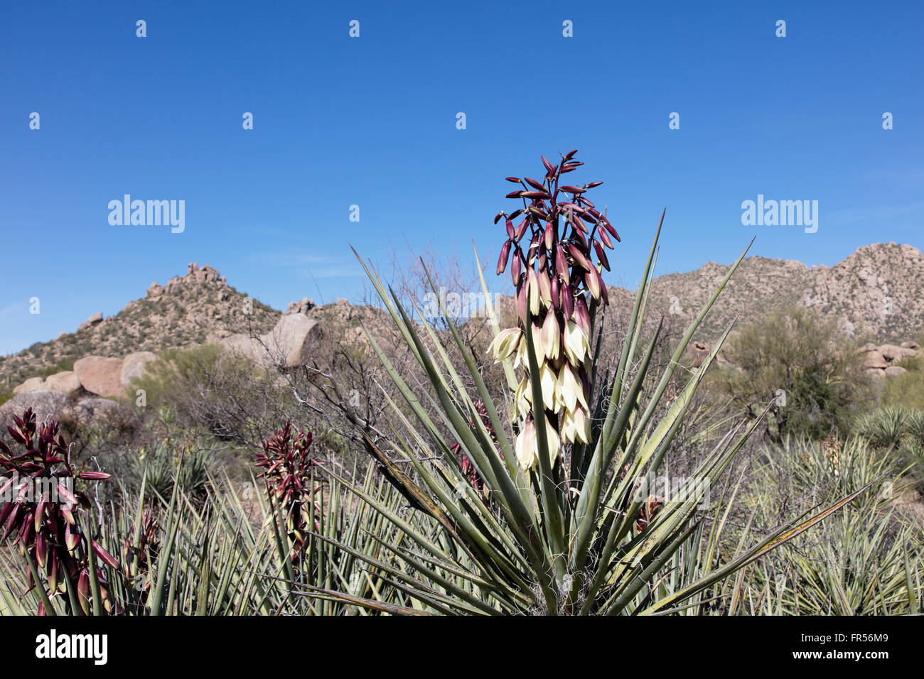 Spring flowering Banana Yucca in the southwestern desert USA - Stock Image
