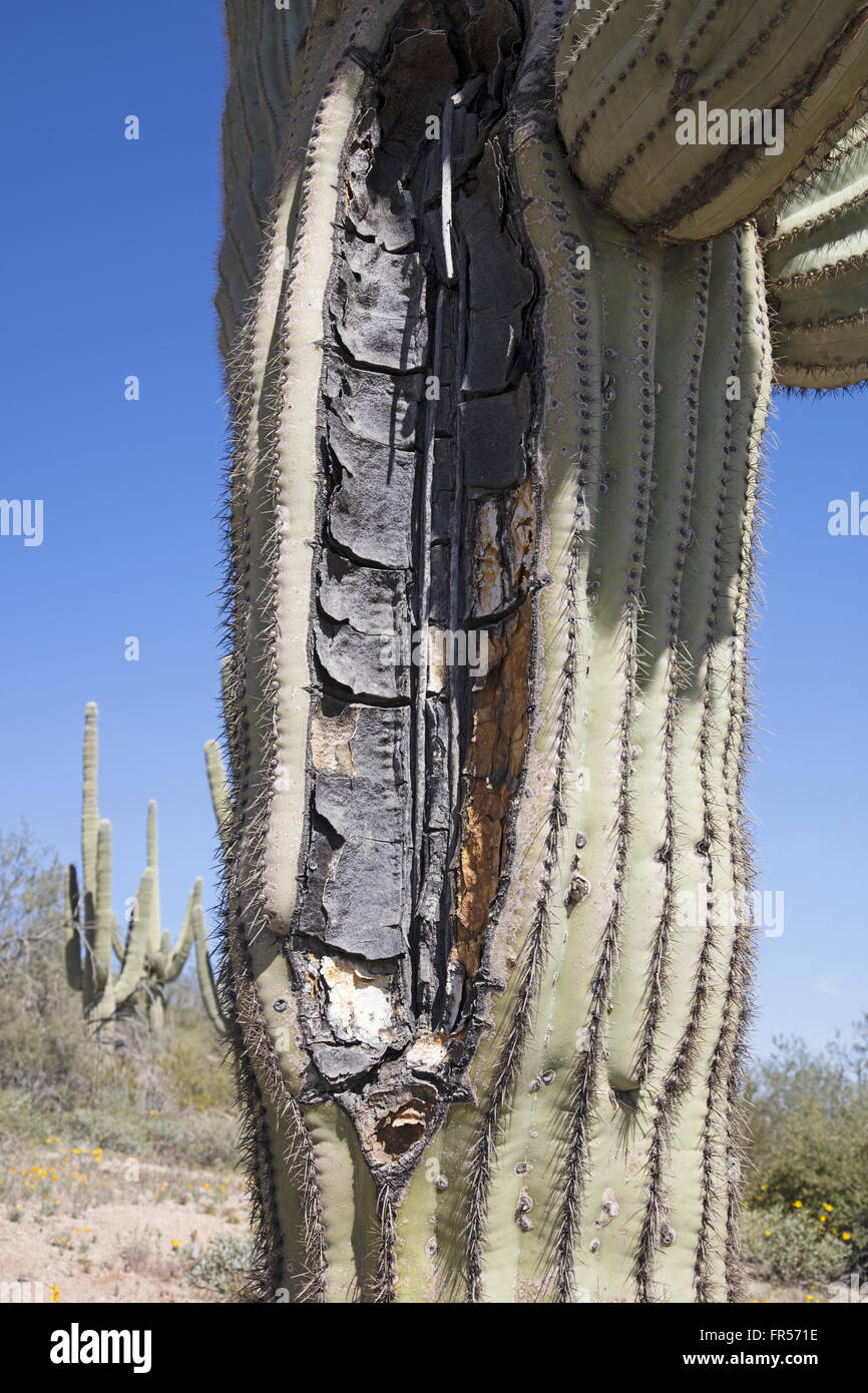 Split trunk of a giant saguaro cactus - Stock Image
