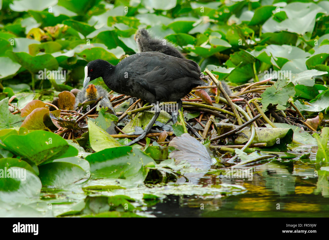 Coots Fulica Atra protecting their chicks from an eel - Stock Image