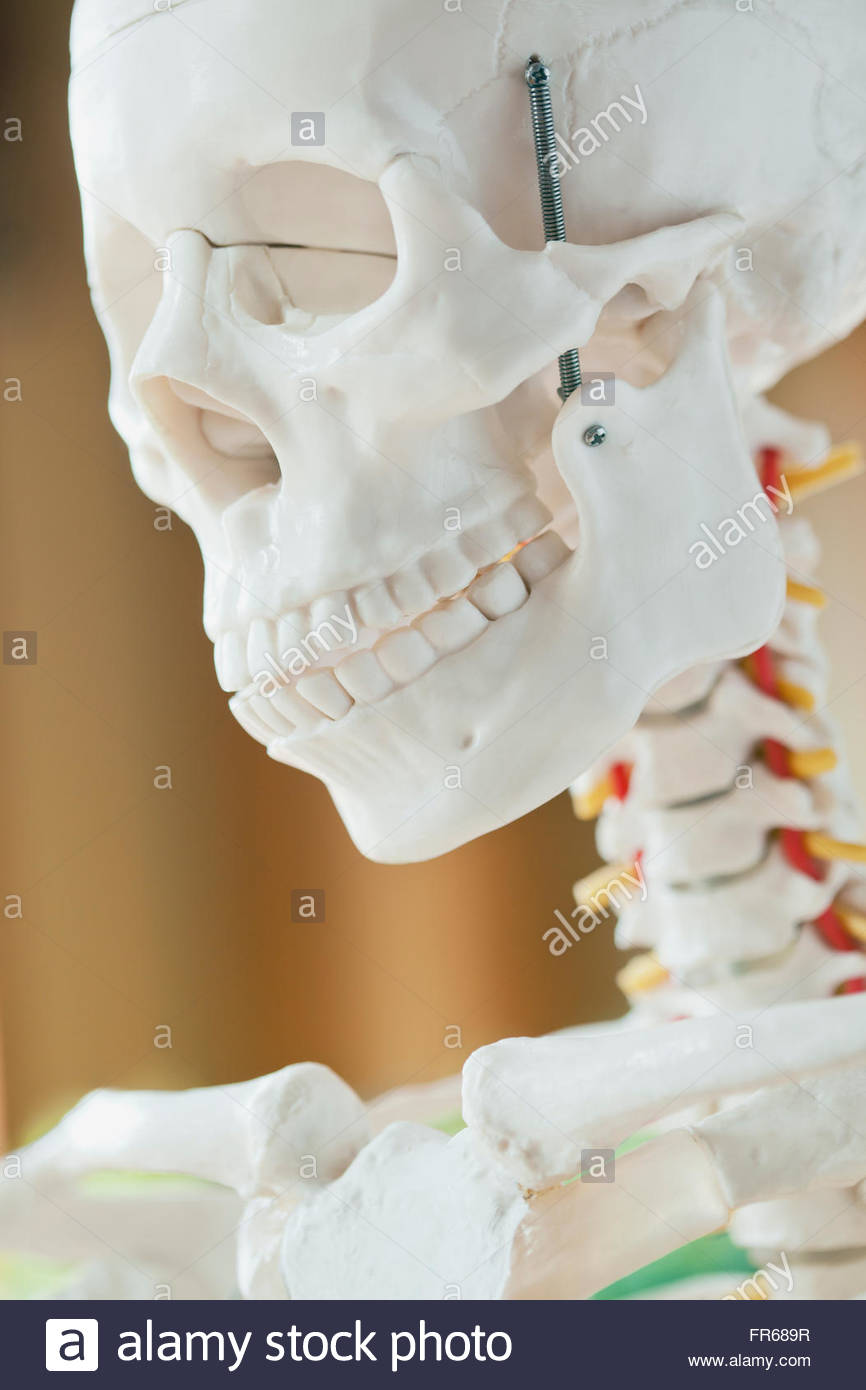closeup of anatomical model - Stock Image