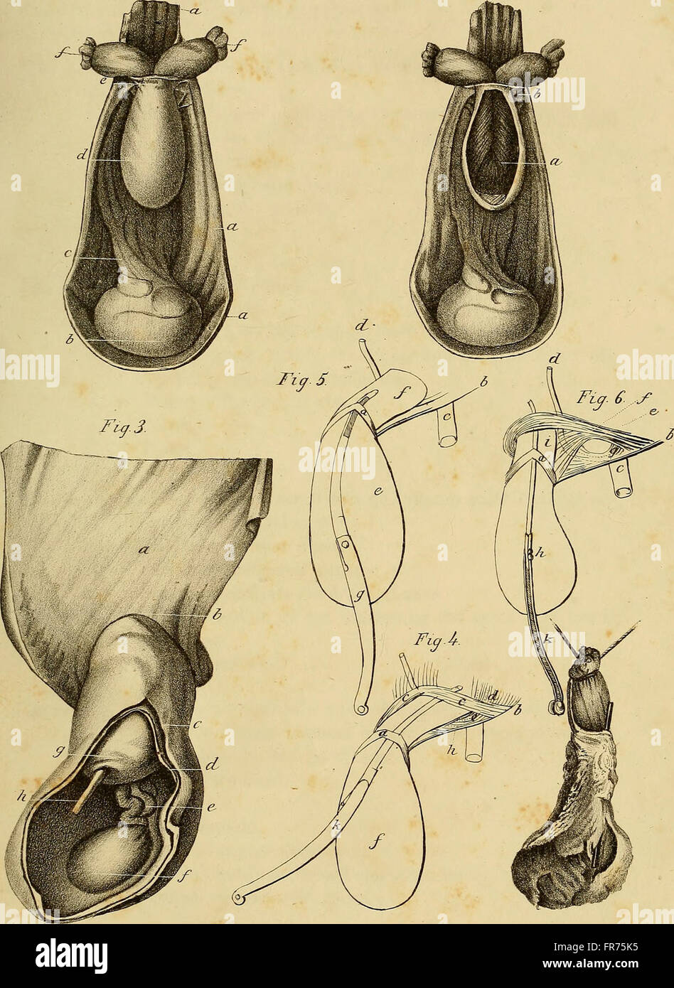The anatomy and surgical treatment of abdominal hernia (1844 Stock ...
