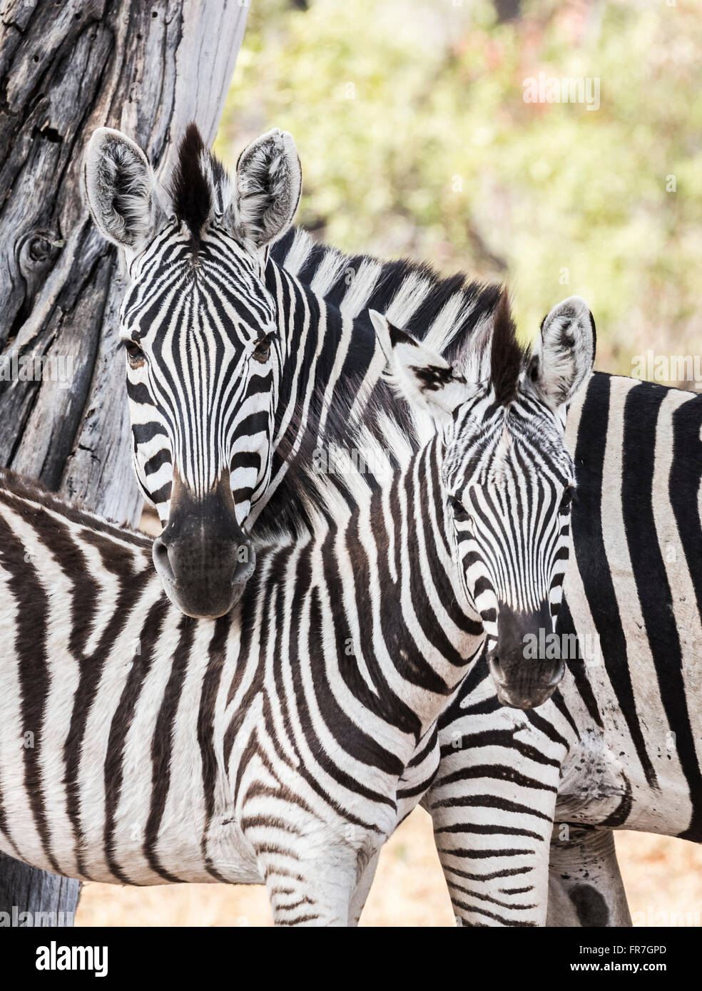 Mother and foal plains or Burchells zebra (Equus quagga burchellii) nuzzling together, Sandibe Camp, by the Moremi - Stock Image