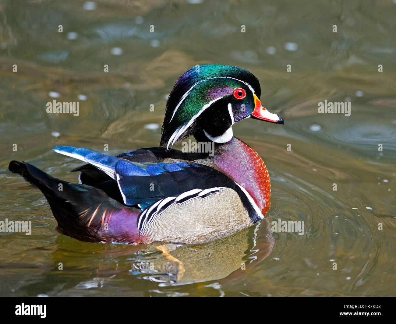 Male Wood Duck - Stock Image