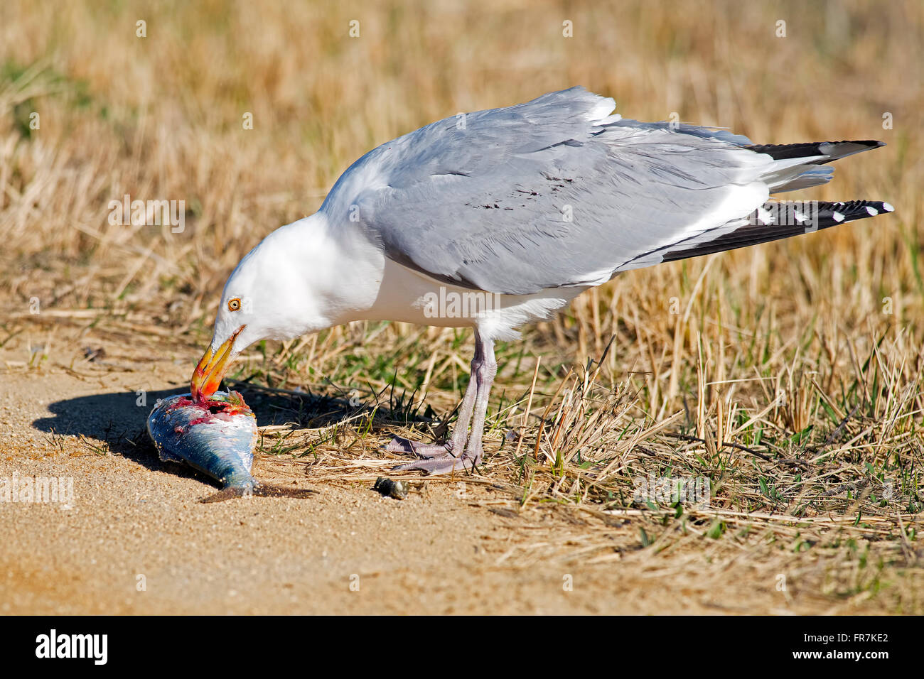 Herring Gull with Large Fish - Stock Image