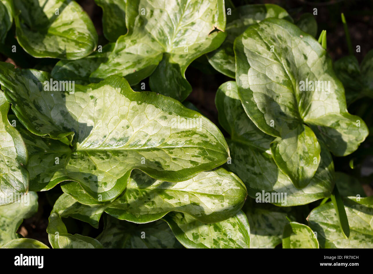 Marbled foliage of the winter and spring foliaged corm, Arum italicum 'Chameleon' - Stock Image