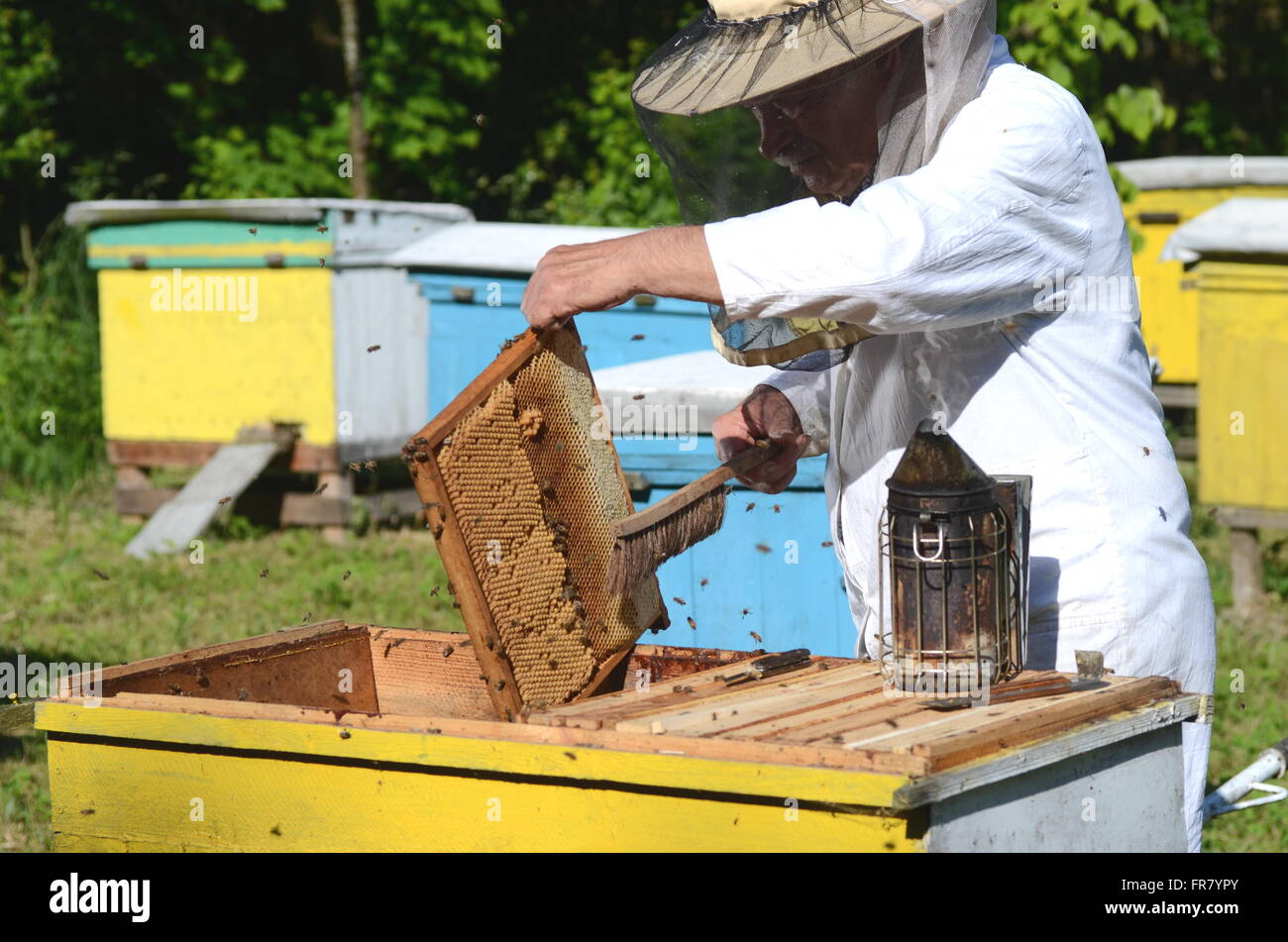 Experienced senior apiarist cutting out piece of larva honeycomb in apiary in the springtime - Stock Image
