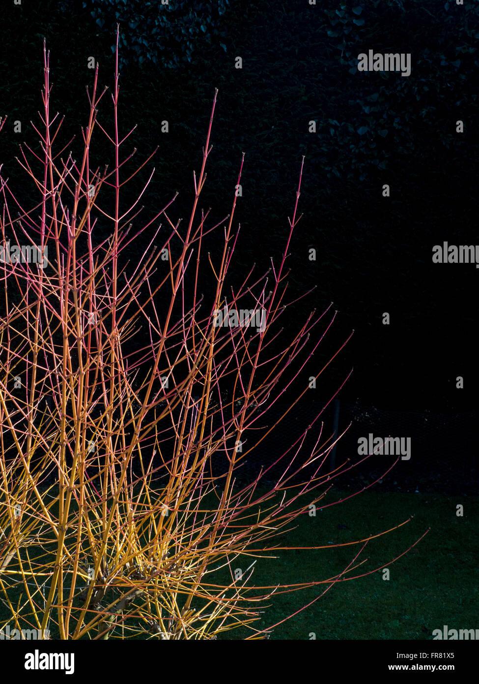 Cornus 'Midwinter Fire stems in winter sunshine - Stock Image