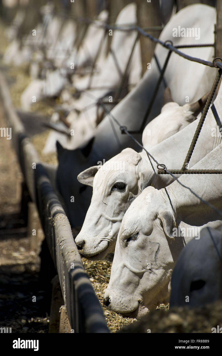 Cattle eating in trough confined Nellore - Stock Image