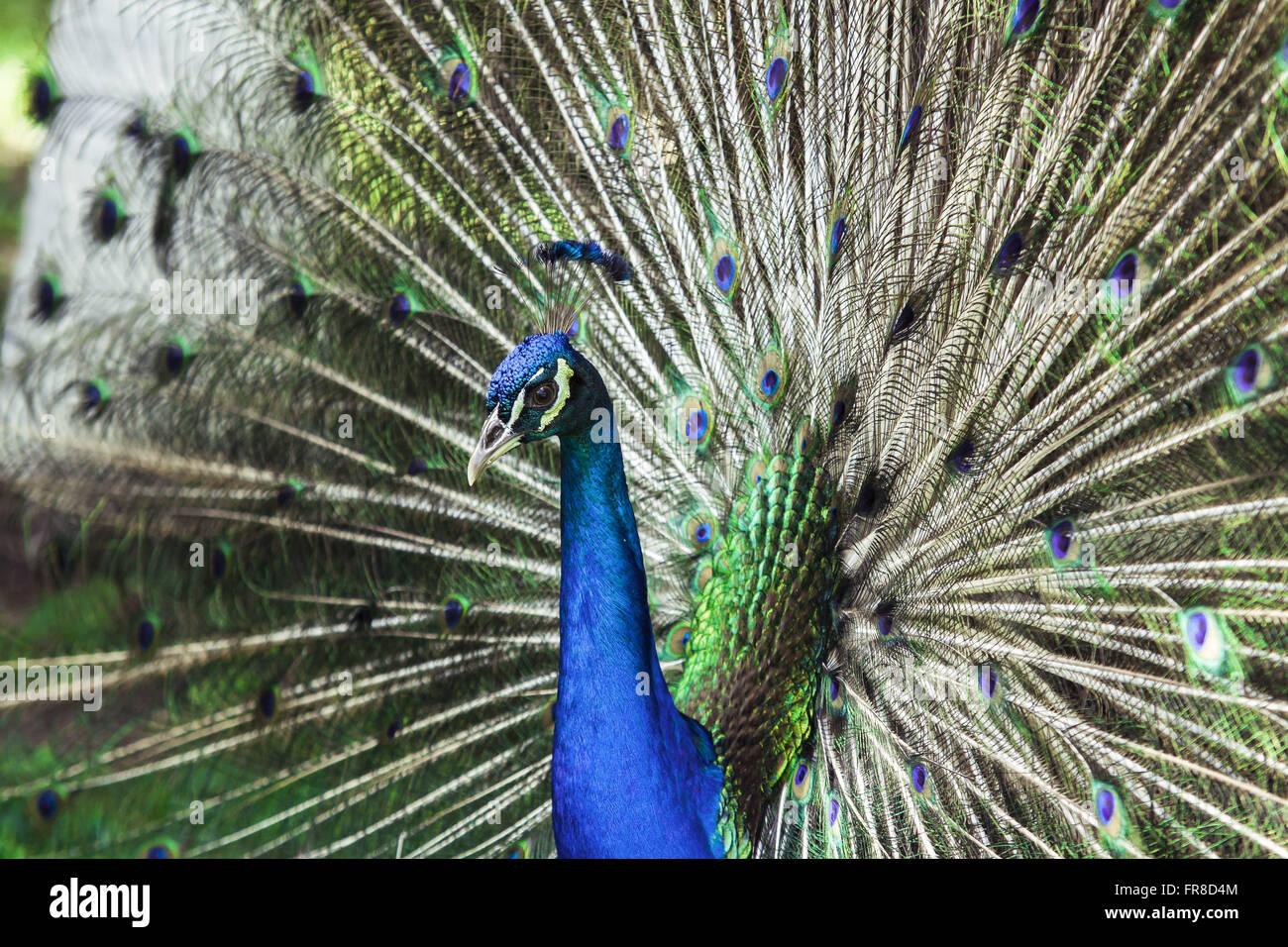 Peacock - Pavo cristatus - Stock Image
