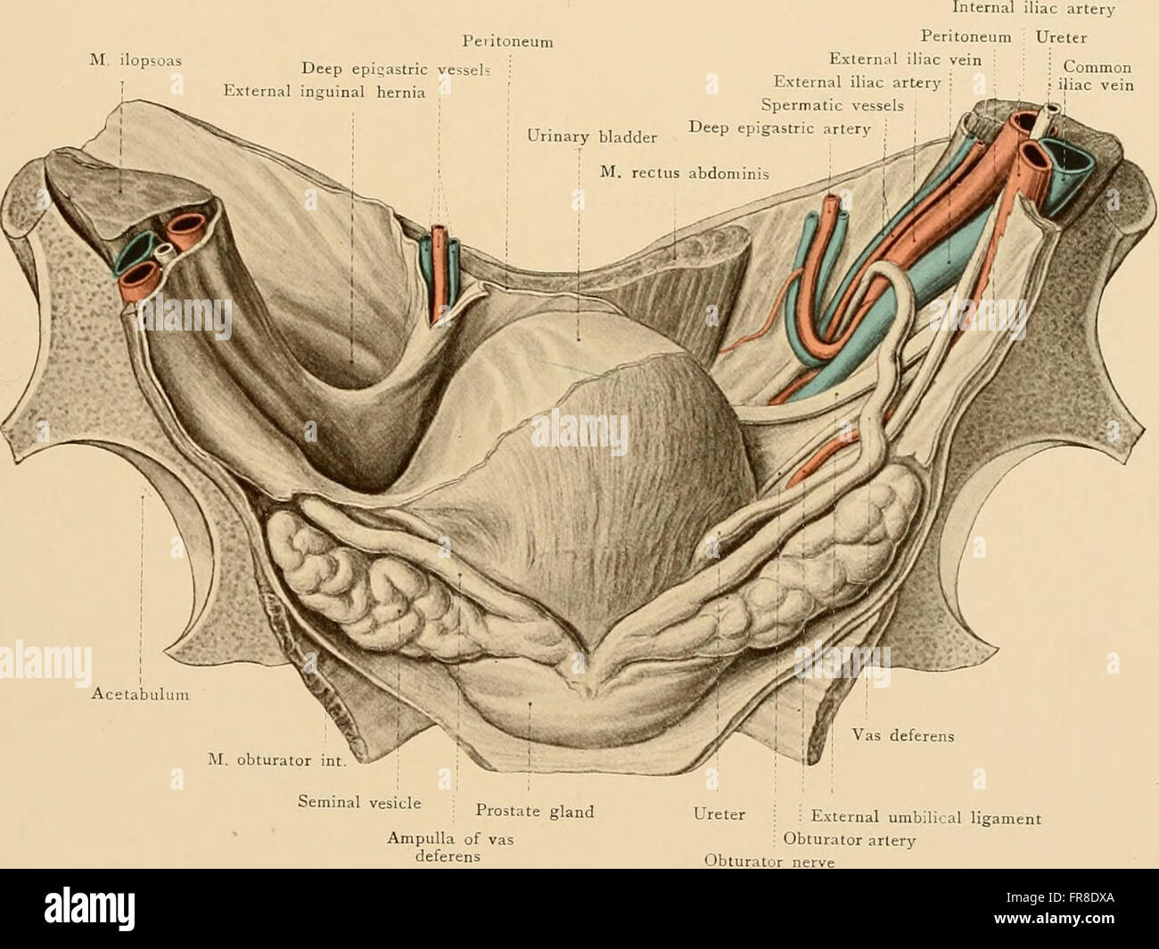 Attractive Epigastric Vessels Anatomy Mold - Human Anatomy Images ...
