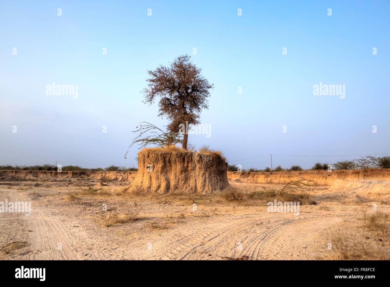 saving holy trees in a sand quarry near Jodhpur, Rajasthan, India, Asia - Stock Image