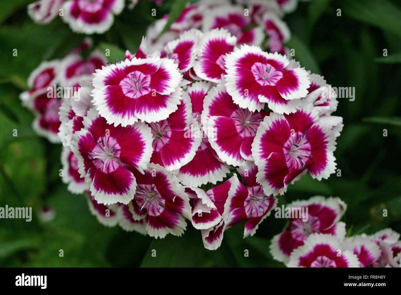 Cluster of pink sweet william dianthus barbatus flowers with white cluster of pink sweet william dianthus barbatus flowers with white edges to the petals background of dark foliage mightylinksfo