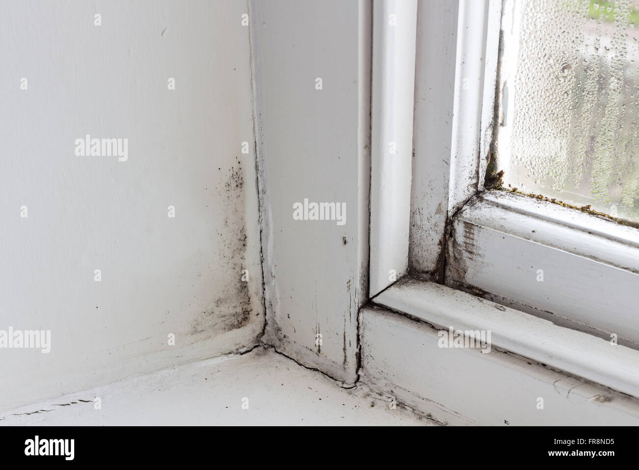 Perfect Rotten Window Frame With Condensation, Mould And Moss Growing In A Rented  House UK