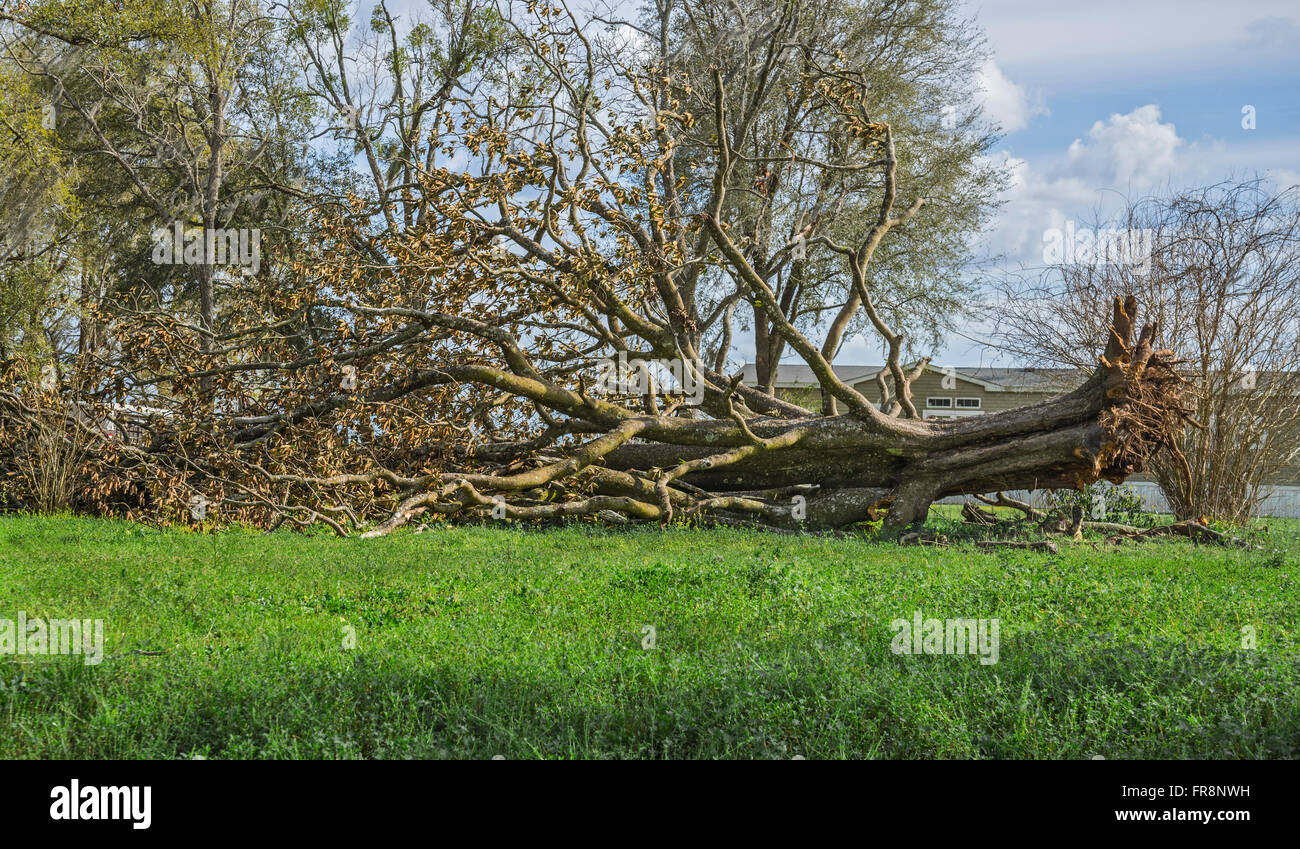 Huge tree toppled over in yard of a rural home. Stock Photo