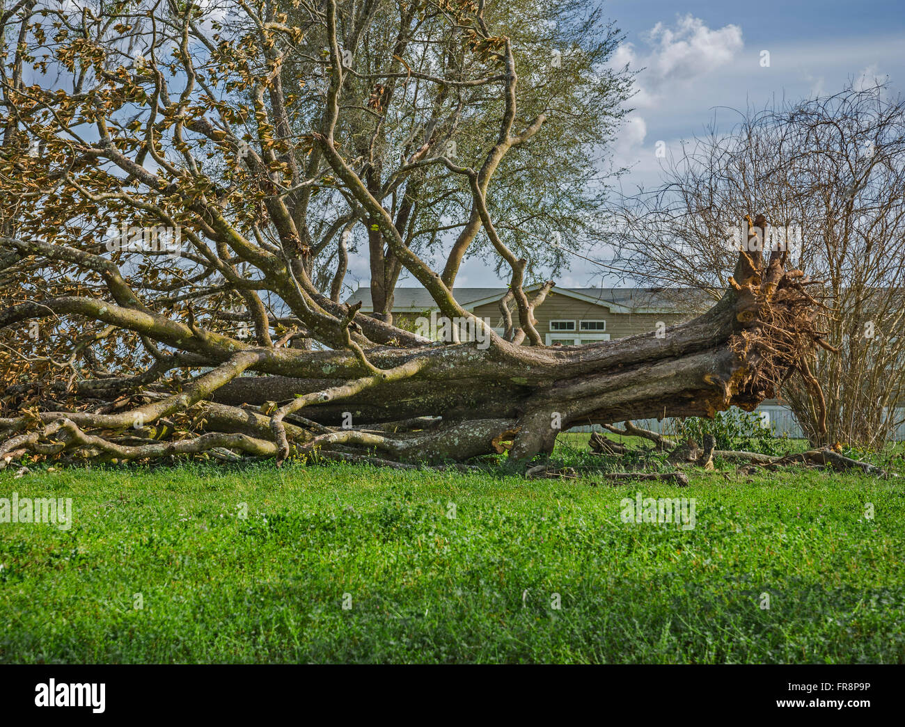 Huge tree toppled over in yard of a rural home. - Stock Image