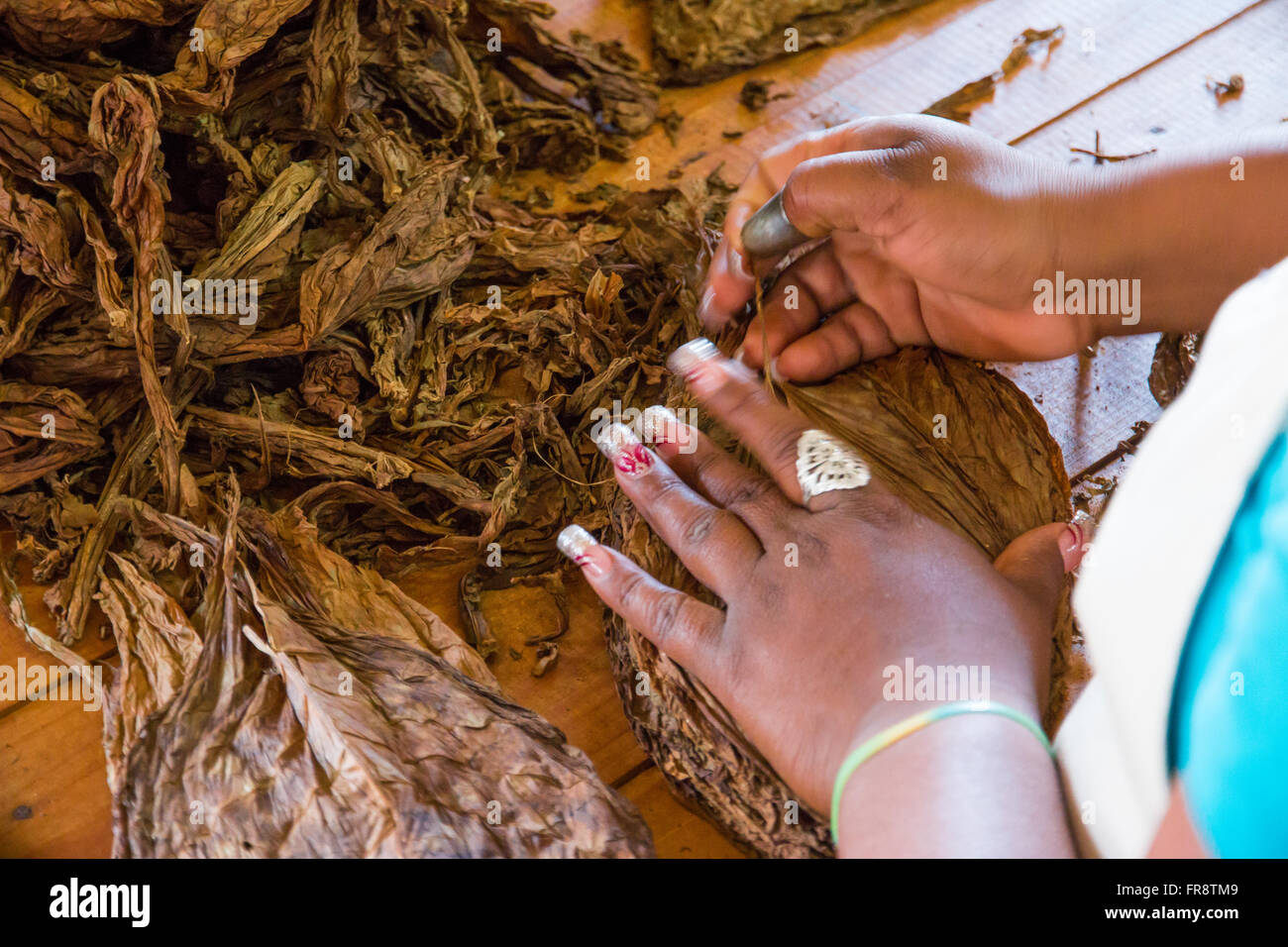 Cuba, Vinales Valley. Known as the tobacco producing region of Cuba. Workers de-stem the tobacco leaves. - Stock Image