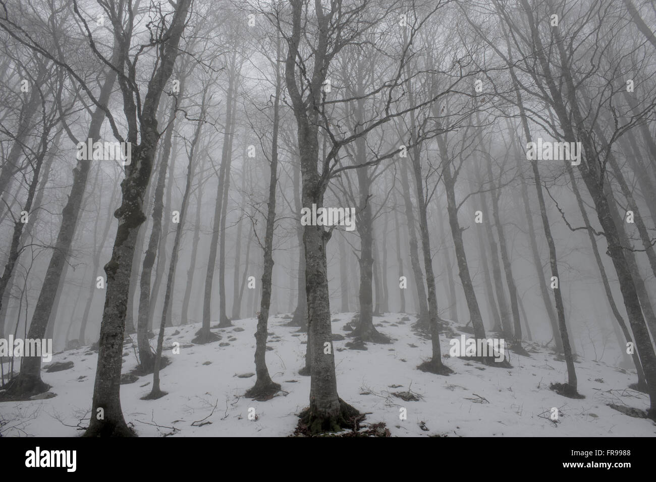 Birches (Fagus sylvatica), trunks in the fog, Forca d'Acero, Abruzzo, Italy - Stock Image
