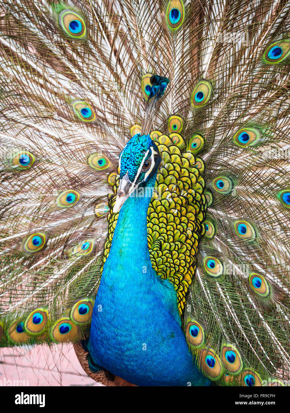 Male blue peacock (Pavo cristatus) displaying with its tail raised - Stock Image