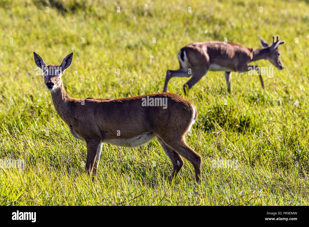 Couple of pampas deer in the pasture farm in South Pantanal - Stock Image