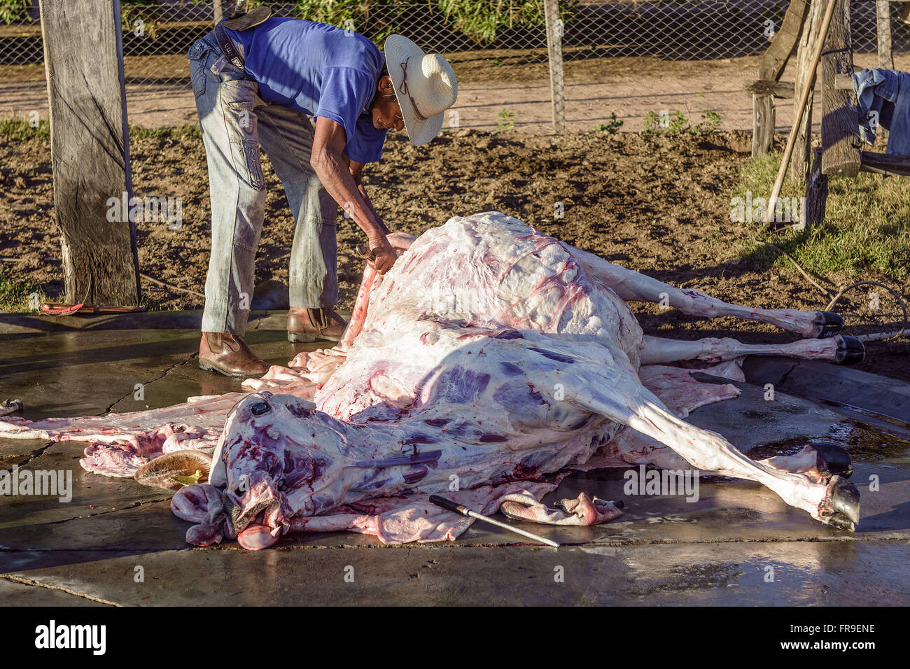 Slaughtered cow farm being dissected in the Pantanal - Stock Image