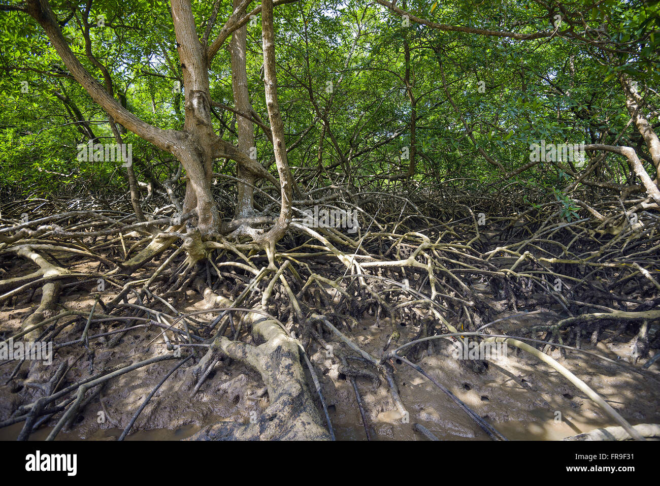 With emphasis on mangrove roots flights - Stock Image