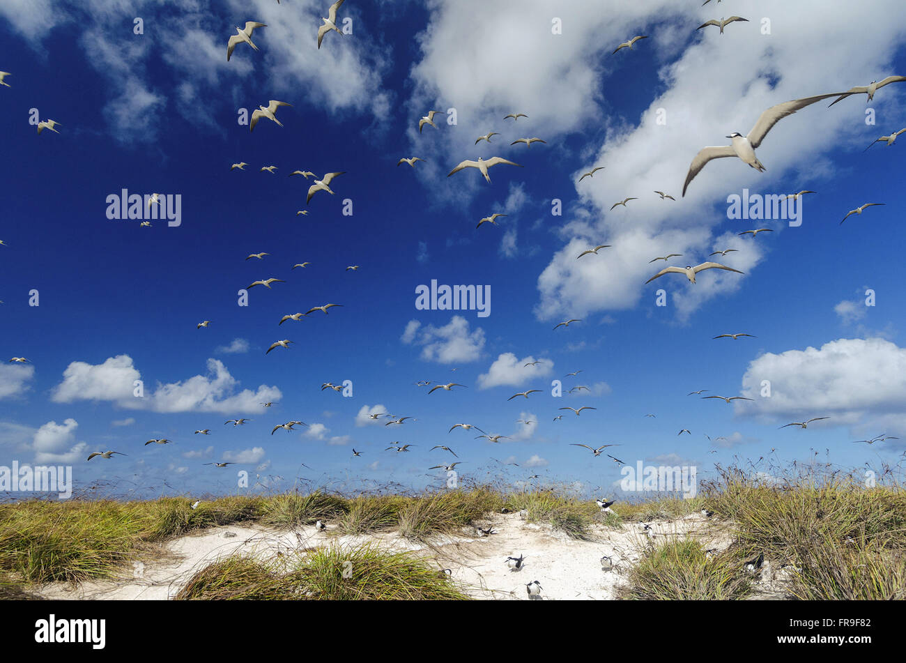 Flock of thirty-kings-of-rocks in the Biological Reserve of Atol das Rocas - Stock Image
