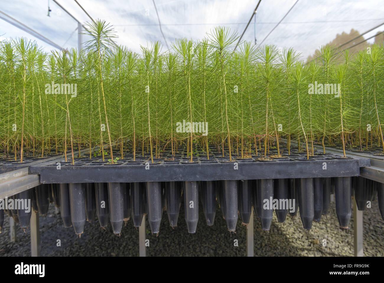 Detalhe dos tubetes em viveiro de mudas de pinus - Stock Image