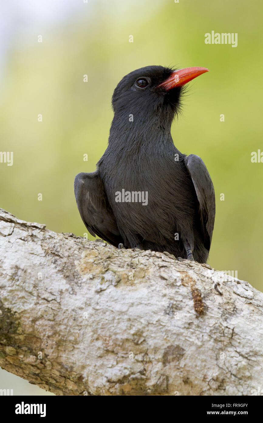 Bird beak-ember also known as cries and cries Umbrella Umbrella-Black - Stock Image