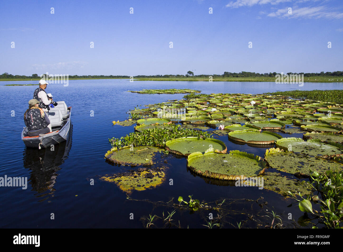 Ecotourists observe water lilies in the swamp - Victoria cruziana - Stock Image