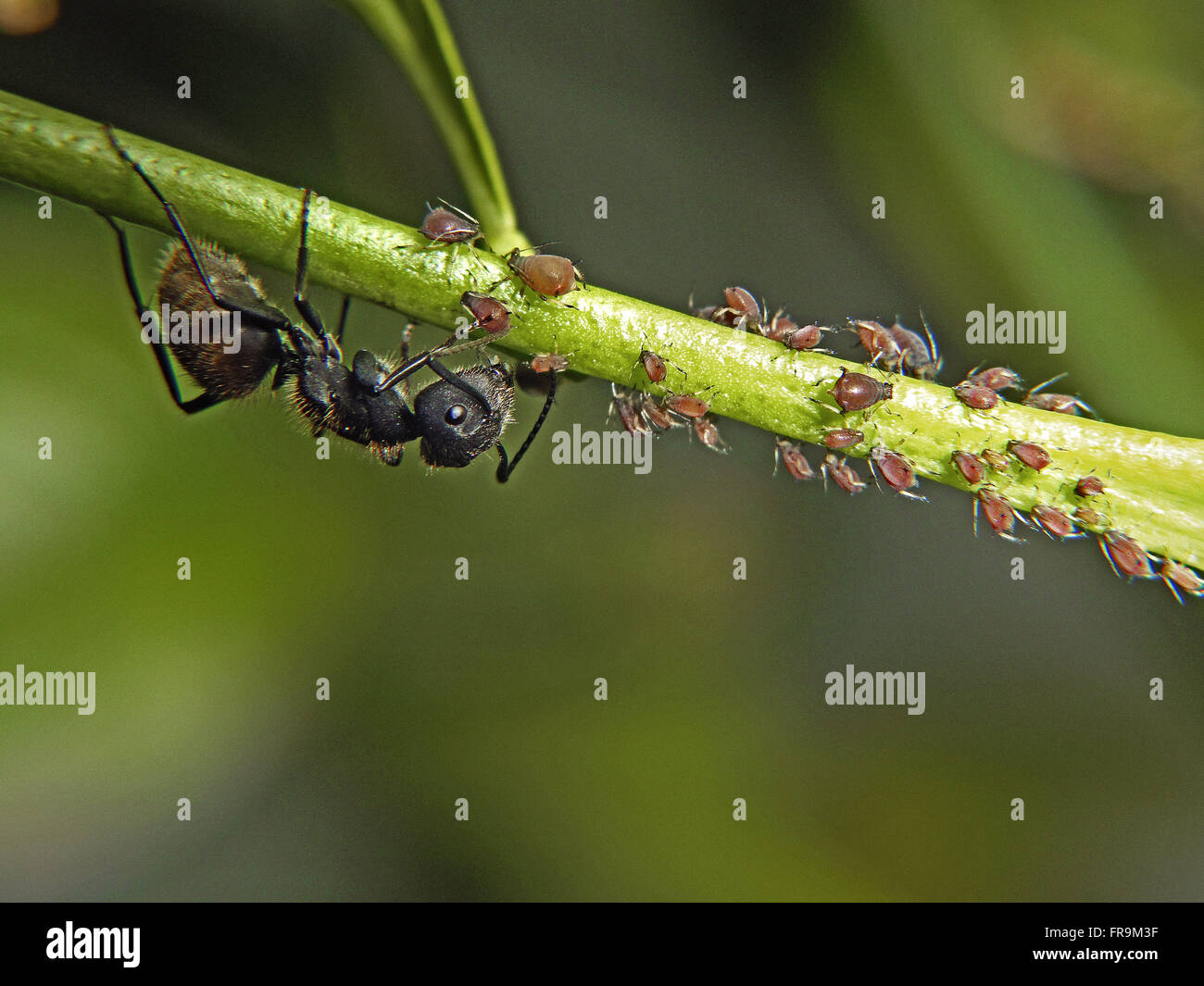 Ants and aphids - Stock Image