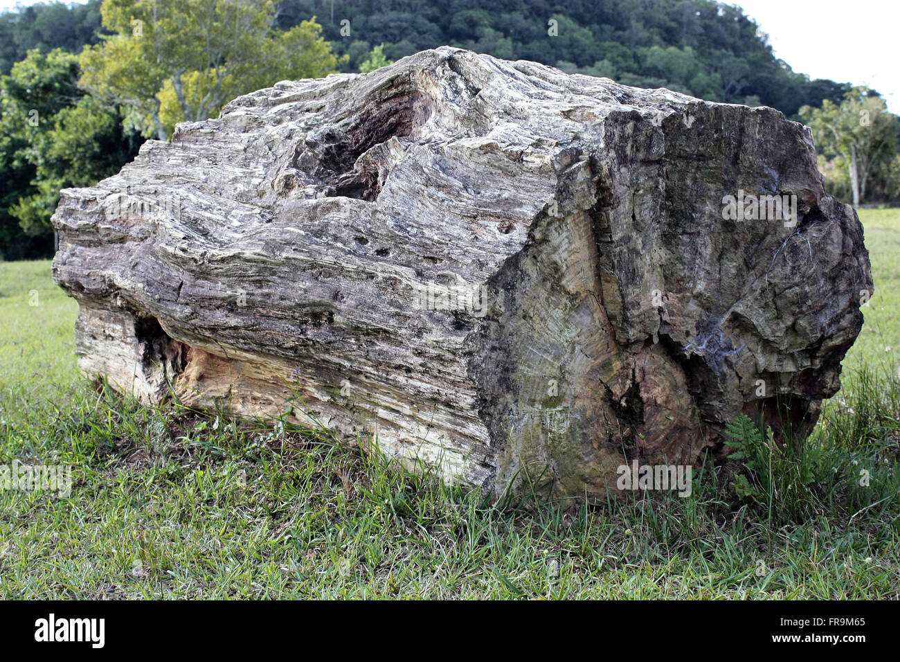 Fossilized tree trunk - petrified - dated c. - Stock Image