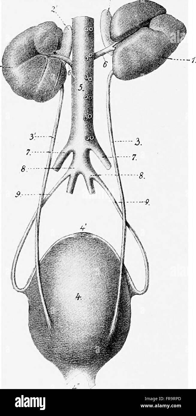 The anatomy of the domestic animals (1914 Stock Photo: 100405157 - Alamy
