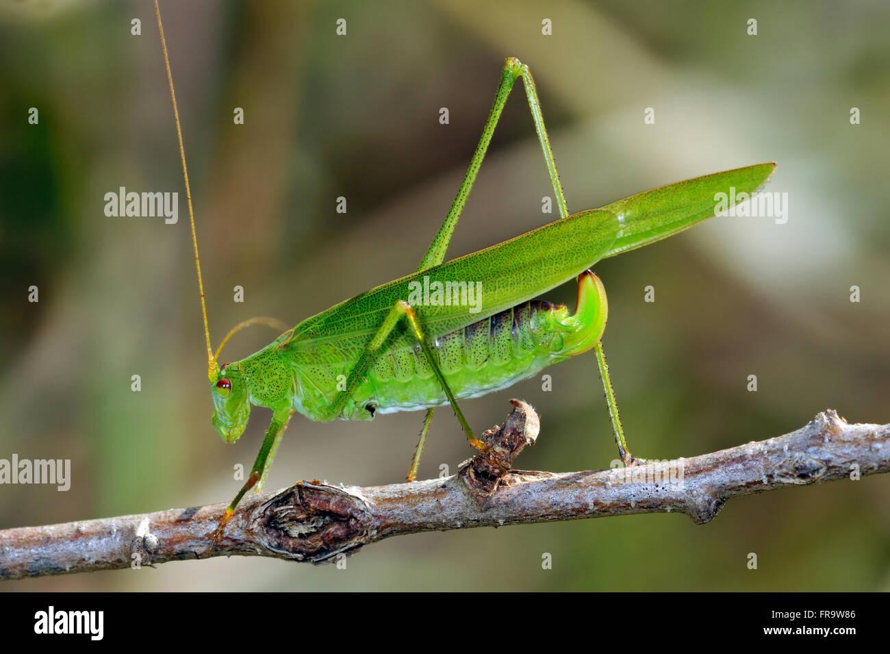Southern sickle-bearing bush cricket (Phaneroptera nana / Phaneroptera quadripunctata) female on twig - Stock Image