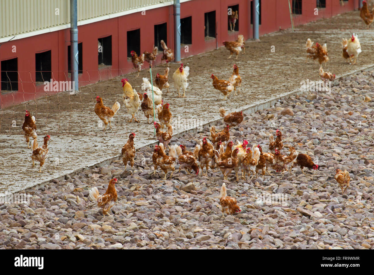 Domestic chickens (Gallus gallus domesticus), commercial free range hens roam freely outdoors - Stock Image