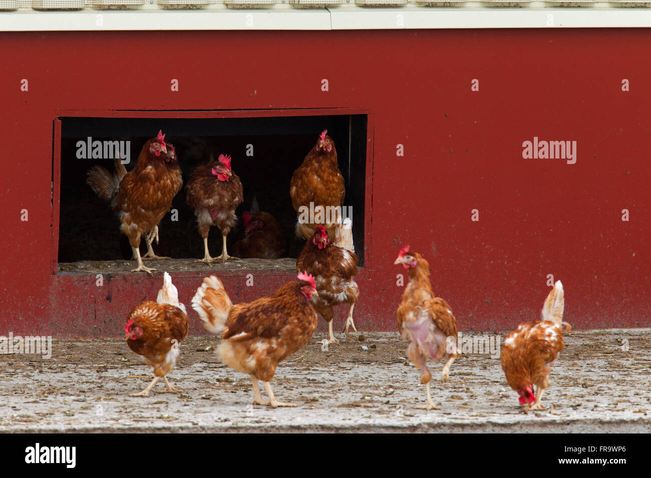 Domestic chickens (Gallus gallus domesticus), commercial free range hens leaving chicken coop - Stock Image