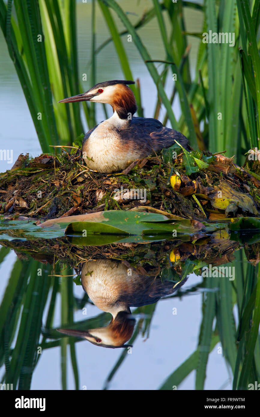 Great crested grebe (Podiceps cristatus) sitting on nest among aquatic plants in lake - Stock Image