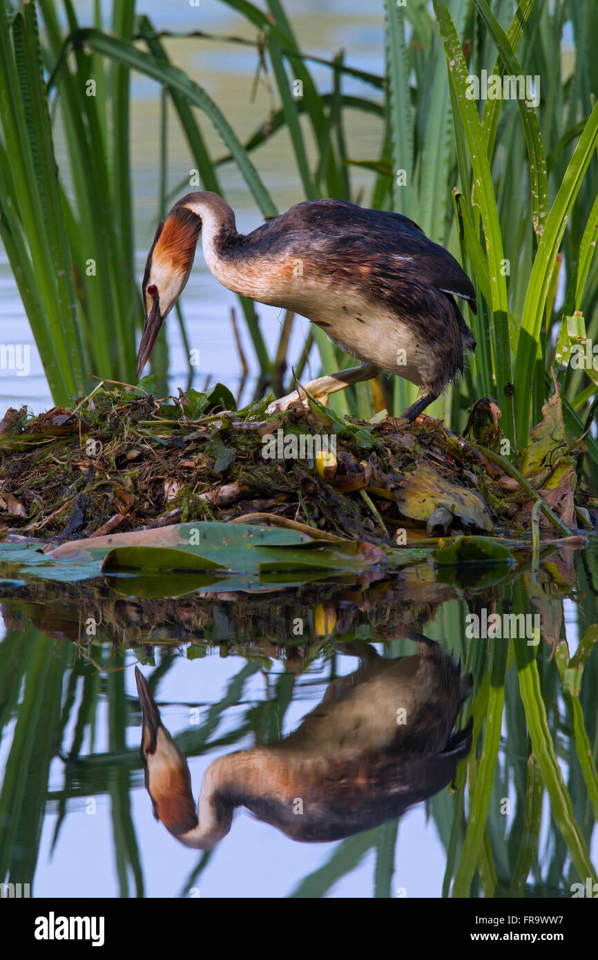Great crested grebe (Podiceps cristatus) sitting on nest among aquatic plants in lake - Stock Image