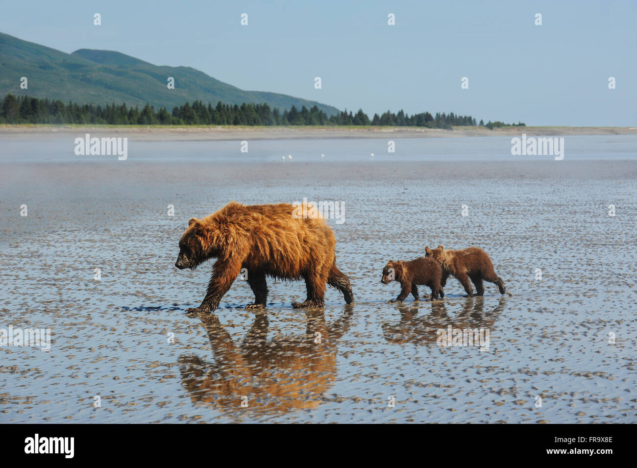 A brown bear sow and her cubs wander across the mudflats at low tide in search of clams, Lake Clark National Park - Stock Image
