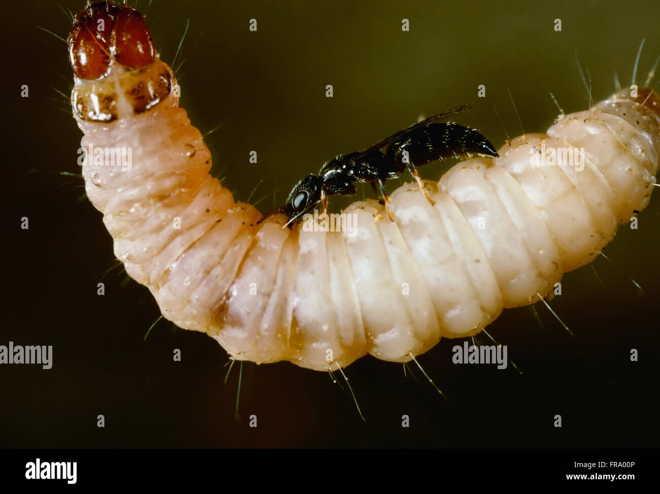 Agriculture - Beneficial Insect, (Goniozus legneri) a small parasitic wasp is a natural control of the Navel Orangeworm - Stock Image