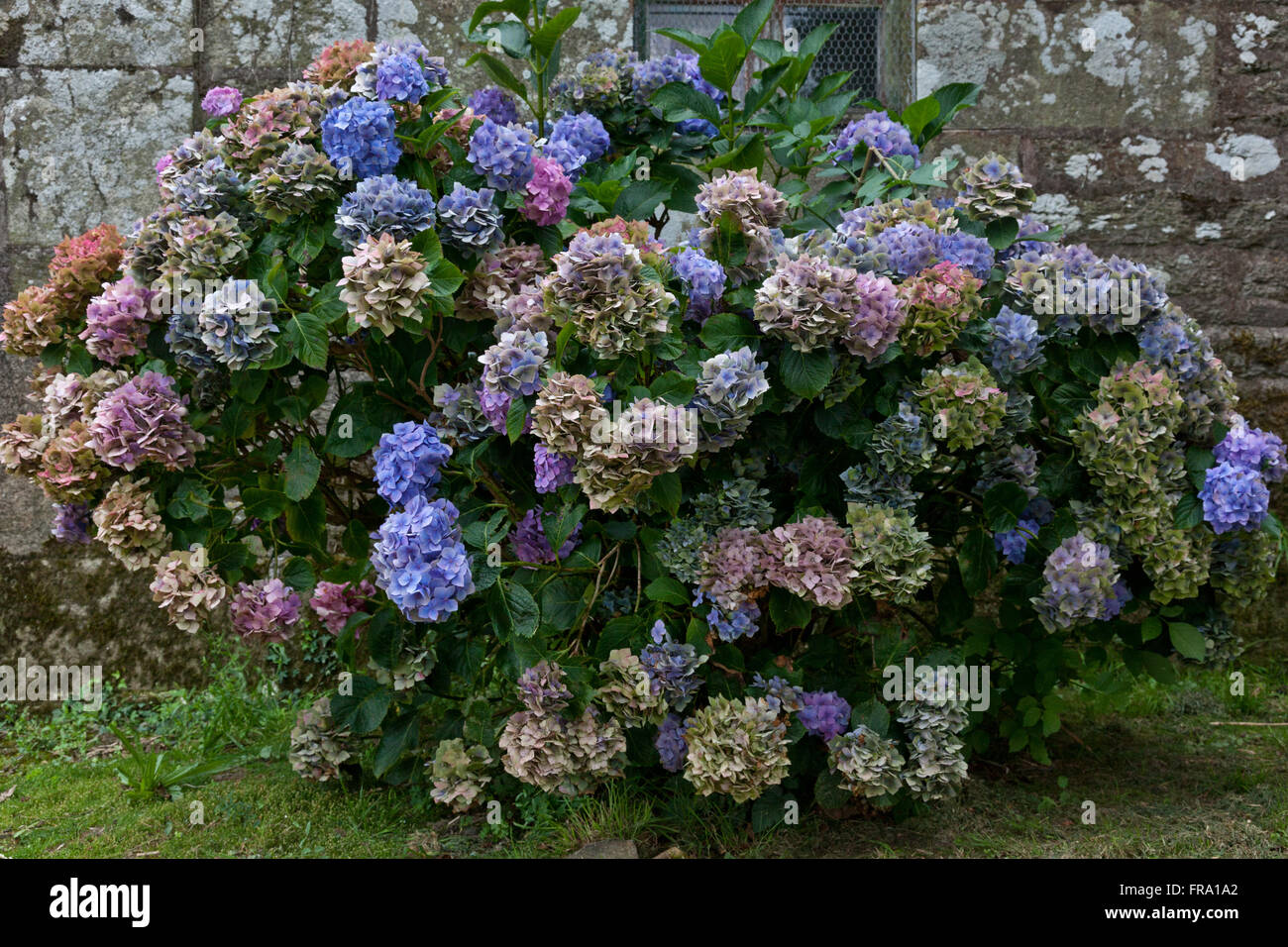 hydrangea bush with varicolored blossoms in front of medieval church wall - Stock Image