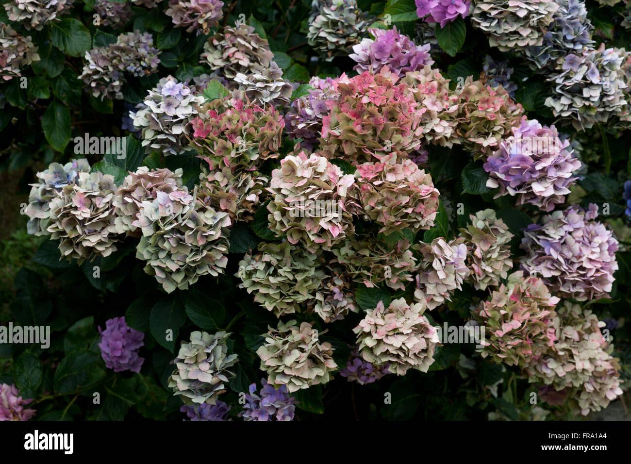 varicolored hydrangea blossoms - Stock Image