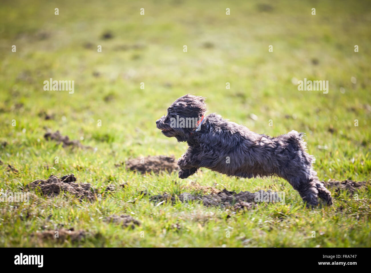 Havanese dog running and jumping across the meadows in spring Stock Photo