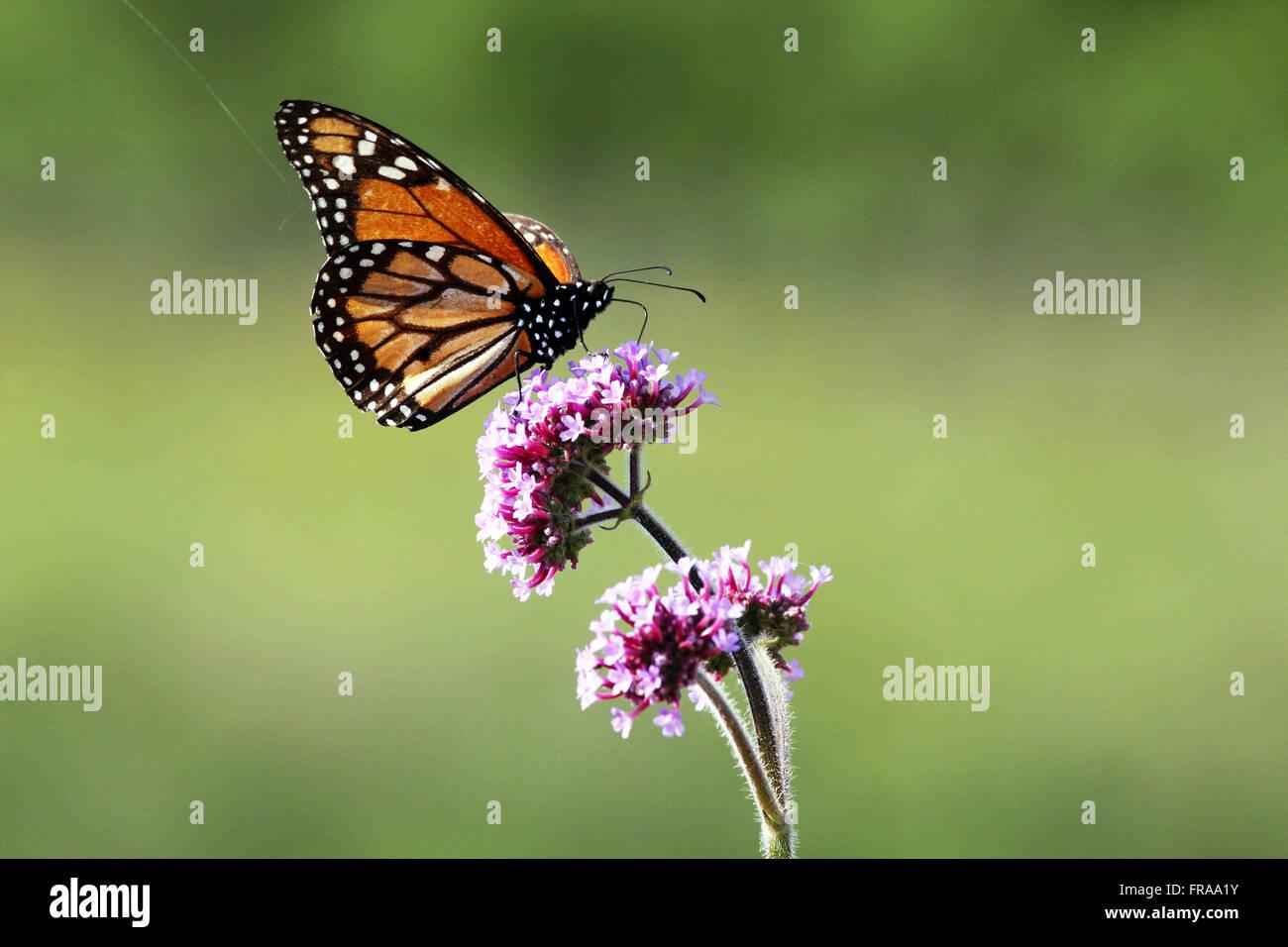 Monarch Butterfly on Flower - Danaus plexippus - Stock Image