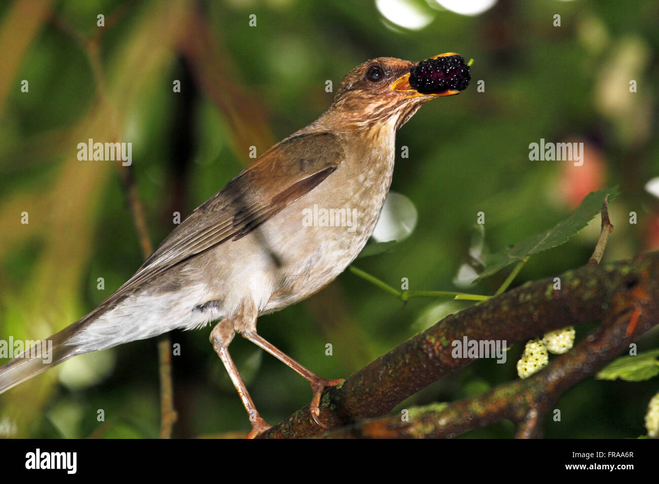 Knew in orange mulberry twig - rufiventris Turdus - Stock Image