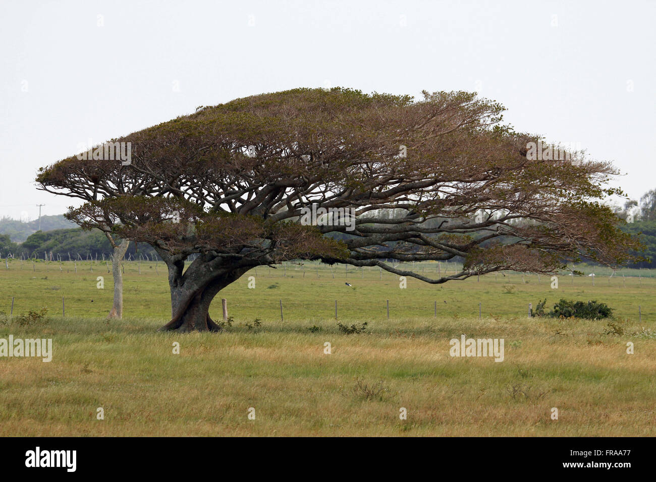 Figueira-mad at the canopy deformed by the prevailing northeast wind in the region deTavares - RS - Stock Image